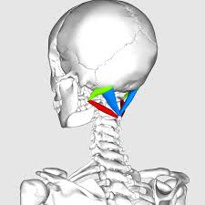 dowager's hump suboccipital muscles stretch