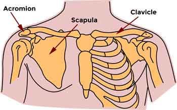 shoulder anatomy for shoulder blade pain melioguide