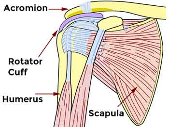 shoulder anatomy melioguide physical therapy