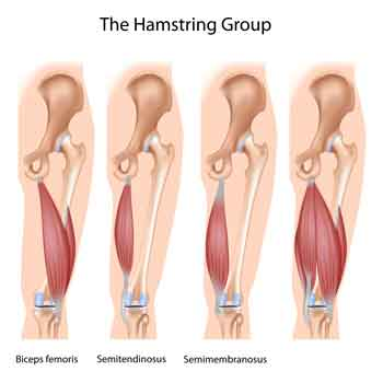 hamstring stretch anatomy melioguide physiotherapy