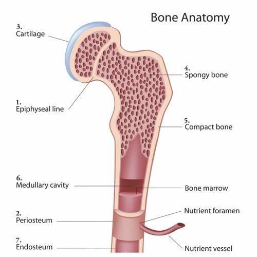 bone anatomy melioguide