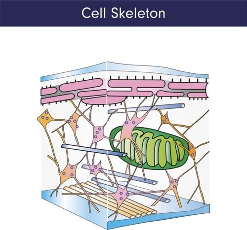 cytoskeleton melioguide