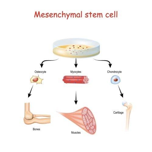 mesenchymal stem cell melioguide